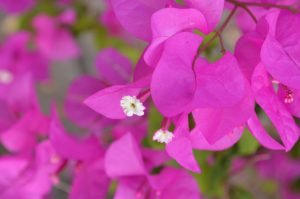 A blast of bougainvillea